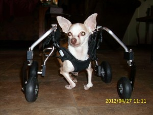 Ginger's in her wheelchair for the first time!