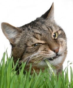 cat_eating_grass