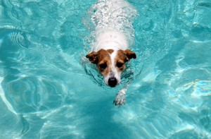 dog_swimming