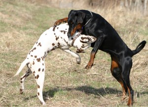 dogs_fighting
