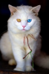 heterochromia_cat
