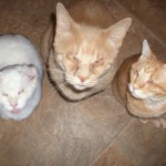 three b cats